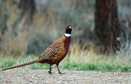 Vote to continue commercial pheasant preserves ruffles feathers